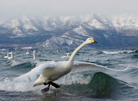 El despegue del cisne cantor