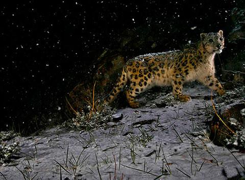 Leopardo bajo la tormenta de nieve
